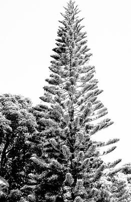 Photograph - Tall Tree Bw - Lan11 by G L Sarti