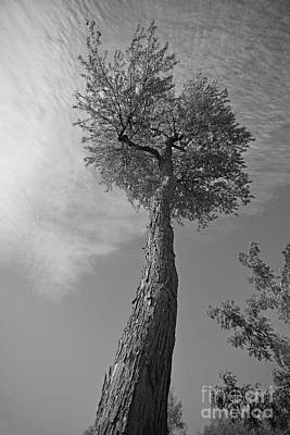 Photograph - Tall Tree by Joshua McCullough