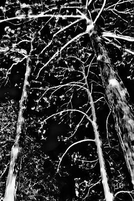 Photograph - Tall Trees by Gina O'Brien