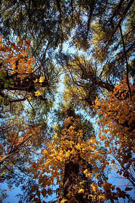 Photograph - Tall Trees by Lilia D