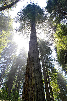 Photograph - Tall Trees Of Redwood National Park by Pierre Leclerc Photography