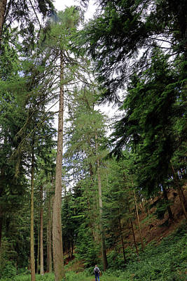 Photograph - Tall Trees Trail by Tony Murtagh