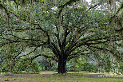 Photograph - Tallahassee Live Oak by Carol Groenen