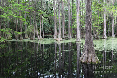 Cypress Swamp Photograph - Tallahassee Swamp by Carol Groenen