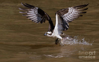 Photograph - Talon Fish Swipe by Art Cole