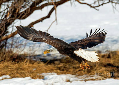 Photograph - Talons Down by Mike Dawson
