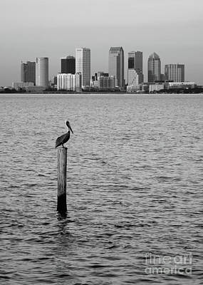 Photograph - Tampa Skyline And Pelican Black And White by Carol Groenen