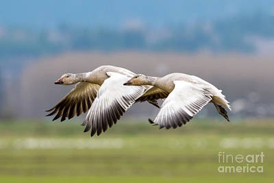 Snow Geese Photograph - Tandem Glide by Mike Dawson