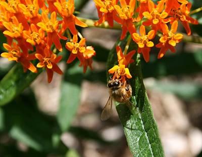 Photograph - Tangerine Honey Bee 2 by David Dunham