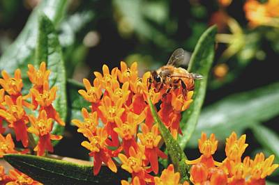 Photograph - Tangerine Honey Bee by David Dunham