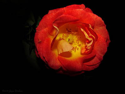 Photograph - Tangerine Rose by Joyce Dickens