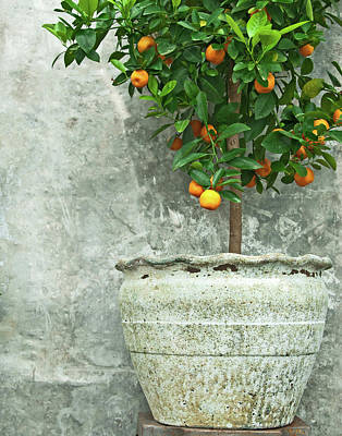 Ceramics Photograph - Tangerine Tree In Old Clay Pot by GoodMood Art