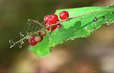 Photograph - Tangled Berries by Garvin Hunter