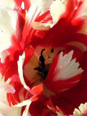 Photograph - Tantalizing Tulip by Sandy Fisher
