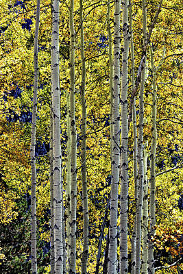 Photograph - Taos Aspens by Robert Woodward