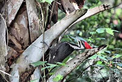 Pileated Woodpecker Photograph - Tap Tap Tap by Deborah Benoit