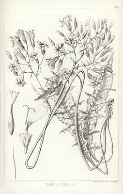 Drawing - Taper Tip Hawksbeard, Crepis Acuminate by Antoine Sonrel