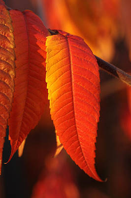 Sumac Photograph - Tapering Light by Connie Handscomb