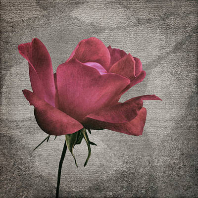 Photograph - Tapestry - Rose by Nikolyn McDonald