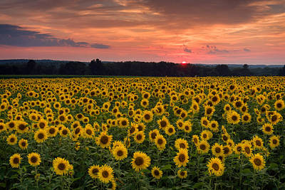Taps Over Sunflowers Art Print by Michael Blanchette