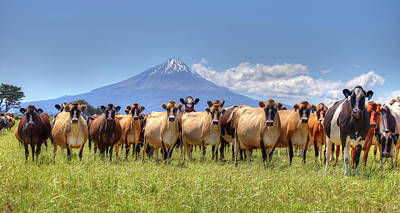 Photograph - Taranaki Cows by Peter Kennett