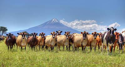 Taranaki Cows Art Print