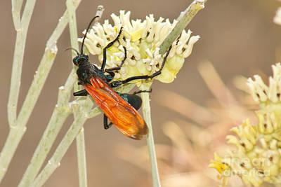 Photograph - Tarantula Hawk by Sean Griffin