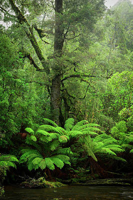 Photograph - Tarkine Forest by Christian Heeb