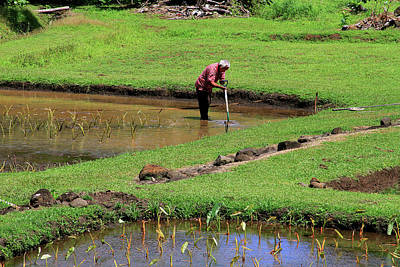 Photograph - Taro Farmer In Field by Bonnie Follett