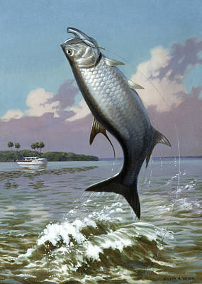 Tarpon Caught On Hook Leaps Print by Walter A. Weber