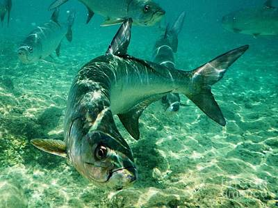 Royalty-Free and Rights-Managed Images - Tarpon by John Clark