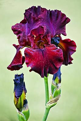 Siberian Iris Photograph - Color Tart Iris by Marcia Colelli