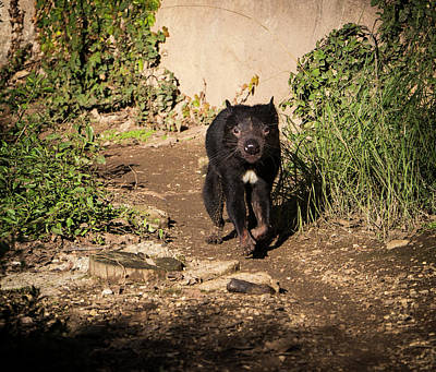 Photograph - Tasmanian Devil - Canberra - Australia by Steven Ralser