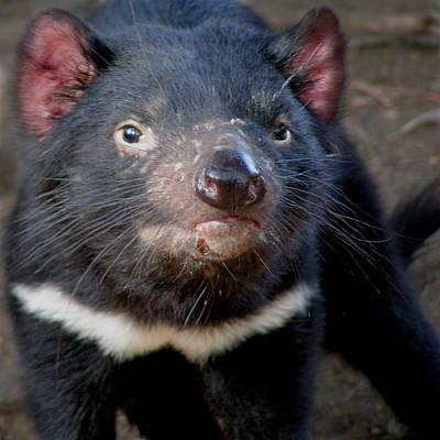 Photograph - Tasmanian Devil by Greg Slocum