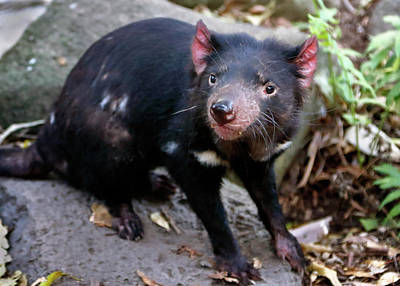 Photograph - Tasmanian Devil by Nicholas Blackwell