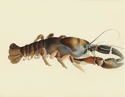 Drawing - Tasmanian Giant Freshwater Crayfish. Astacopsis Gouldi by William Buelow Gould