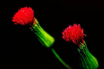 Photograph - Tassel Flower by Roberto Aloi