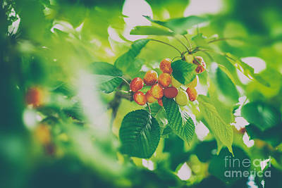 Photograph - Tasty Sweet Cherries by Anna Om