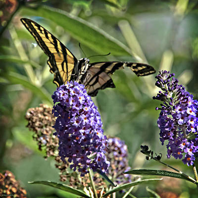 Photograph - Tattered Swallowtail by Mick Anderson