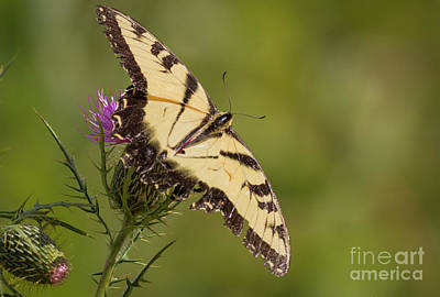 Photograph - Tattered Tiger Swallowtail by David Cutts