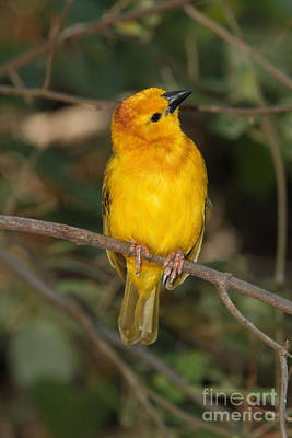 Taveta Golden Weaver Art Print