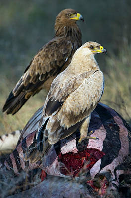 Focus On Foreground Photograph - Tawney Eagles, Aquila Rapax, Feeding, Tarangire National Park, Tanzania by Panoramic Images