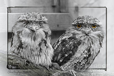 Digital Art - Tawney Frogmouths by Chris Armytage