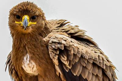 Photograph - Tawny Eagle Close Up by Marilyn Burton