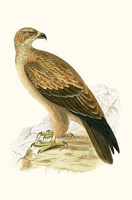 Birds Of Prey Drawing - Tawny Eagle by English School