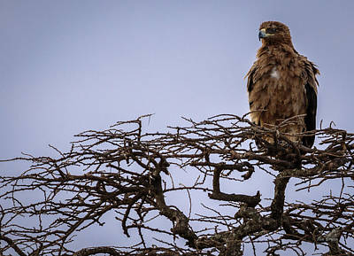 Photograph - Tawny Eagle In Bush by Tim Bryan