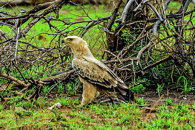 Photograph - Tawny Eagle Juvenile by Marilyn Burton