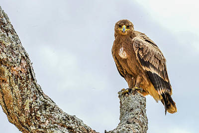 Photograph - Tawny Eagle by Marilyn Burton