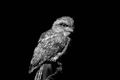 Photograph - Tawny Frogmouth In Black And White by Miroslava Jurcik