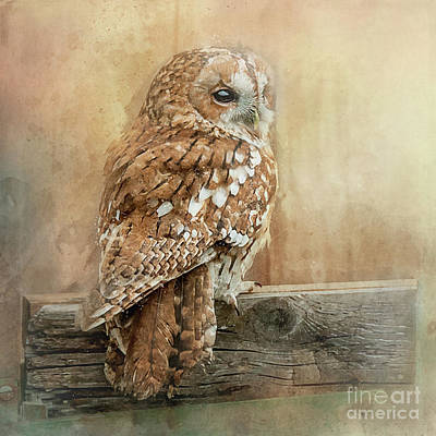 Photograph - Tawny Owl by Brian Tarr